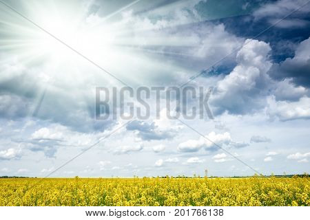 rapeseed yellow flower field in spring season, beautiful landscape, bright sun