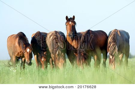 A herd of Belorussian harness horses in field at sunrise, eating grass.