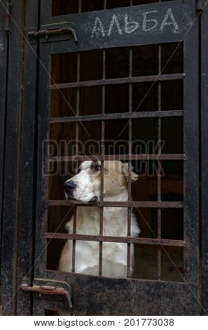 ST. PETERSBURG, RUSSIA - JUNE 30, 2017: Dog in the shelter for homeless animals of the foundation Vernost. About 40 big dogs living in the shelter today