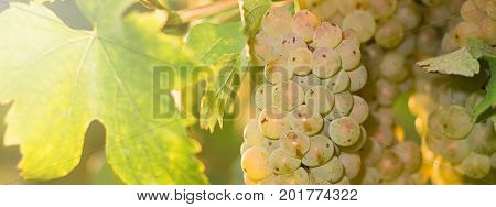 Bunches Of Wine Grapes Growing In Vineyard.