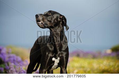 Great Dane dog outdoor portrait in field of flowers