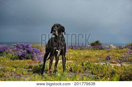 Great Dane dog outdoor portrait in field with purple flowers
