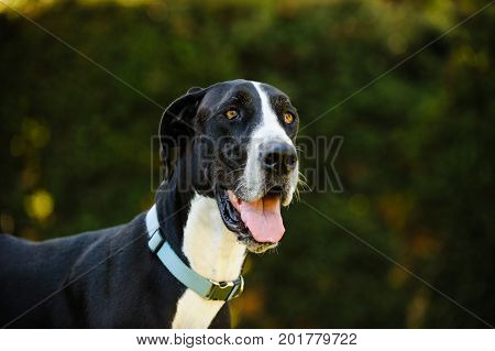 Great Dane dog outdoor portrait against bushes