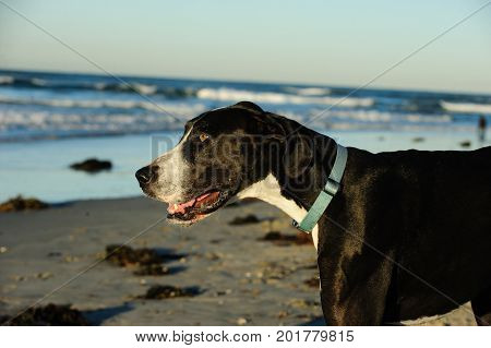 Great Dane dog outdoor portrait at ocean beach
