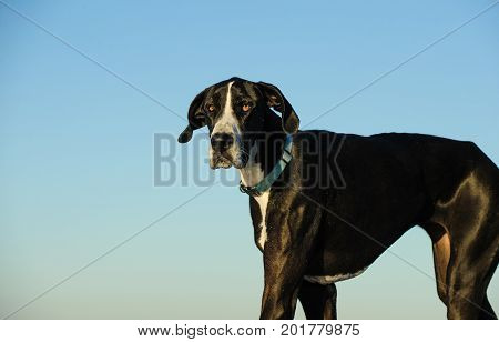 Great Dane dog outdoor portrait against blue sky