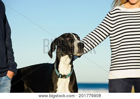 Great Dane dog outdoor portrait at ocean with man and womans arms on each side