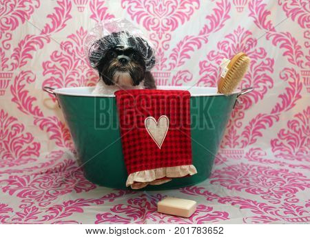 Dog Bath. A happy Shiz Tsu  dog ready to take a bath in the tub. He is wearing a shower cap and has a scrub brush and bar of soap ready to use. Dog Bath Time.