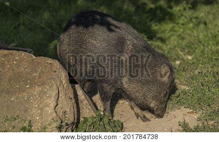 Peccary under evening golden sun in green grass
