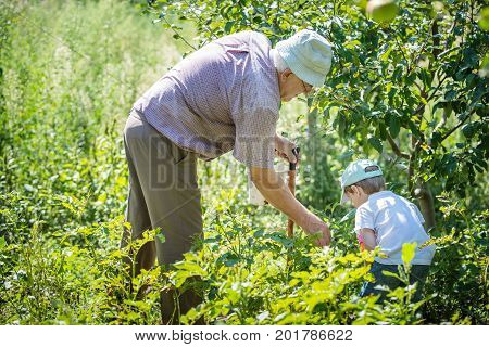 Grandfather and grandson working in garden collecting potato beetles