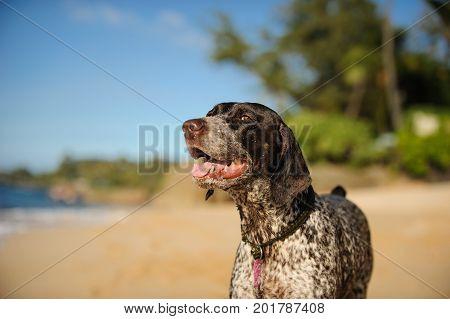 German Shorthaired Pointer dog outdoor portrait on beach