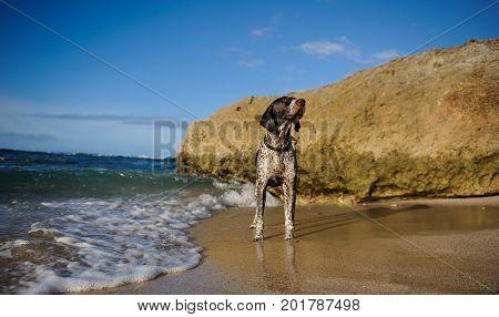 German Shorthaired Pointer dog outdoor portrait standing on beach