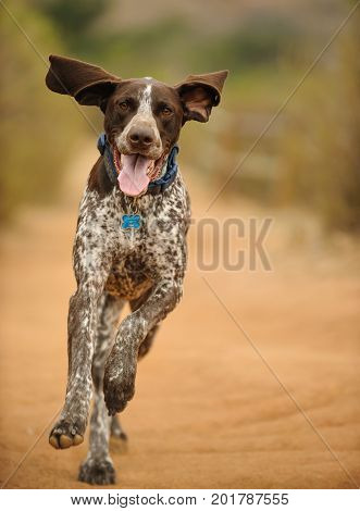 German Shorthaired Pointer dog outdoor portrait running on path