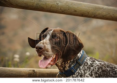German Shorthaired Pointer dog by wood fence
