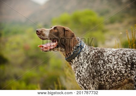 German Shorthaired Pointer dog in nature in hills