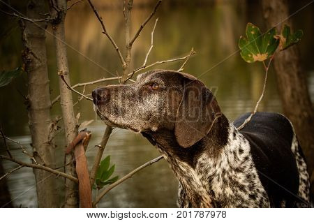 German Shorthaired Pointer dog in nature by pond