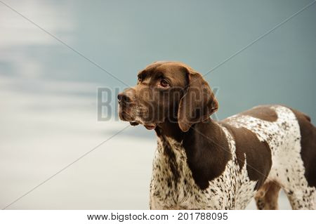 German Shorthair Pointer dog portrait against water