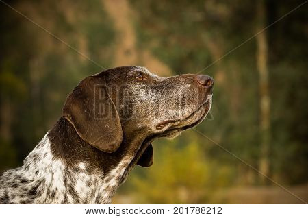 German Shorthaired Pointer dog head shot in nature