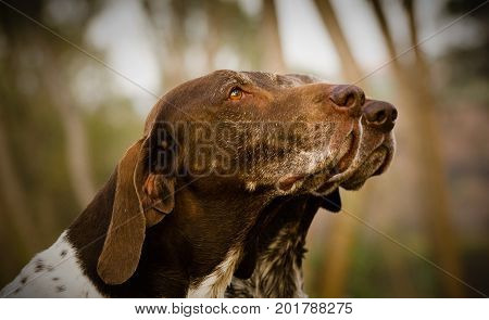 Two German Shorthaired Pointer dogs in trees