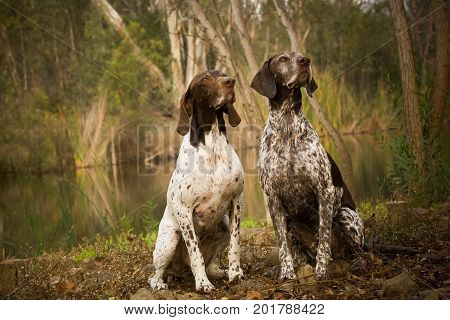 Two German Shorthaired Pointer dogs sitting by pond