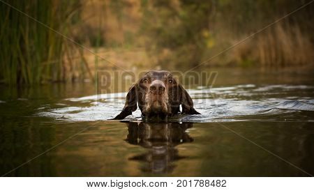 German Shorthaired Pointer dog swimming in pond water