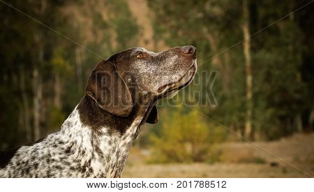 Two German Shorthaired Pointer dogs head shots, side by side