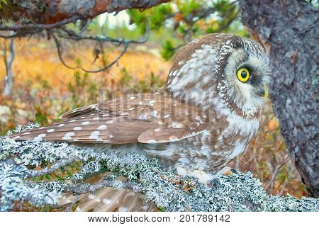 Portrait Of Boreal Owl In Characteristic Interior