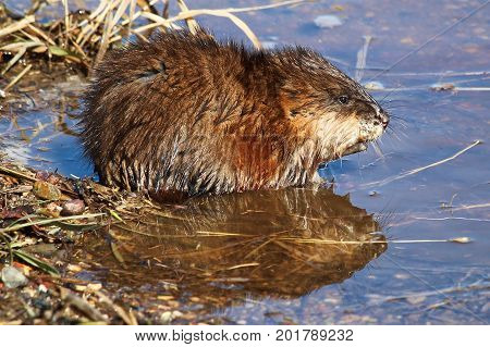 Muskrat sitting at the edge of a pond with a reflection in the water.
