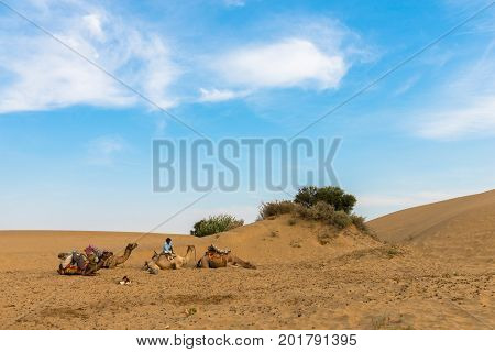 JAISALMER RAJASTHAN INDIA - MARCH 07 2016: Wide angle picture of local camels with a native indian man in Thar Desert located close to Jaisalmer the Golden City in India.