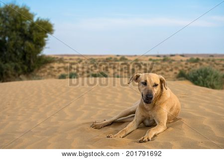 Horizontal picture of wild dog posing in Thar Desert located close to Jaisalmer the Golden City in India.