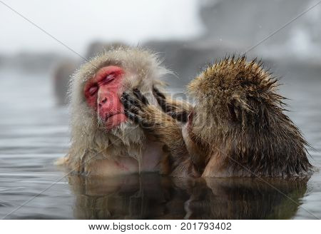 two wildlife snow monkey playing in hot water on-sen eater in Jigokudani japan in natural park mountain