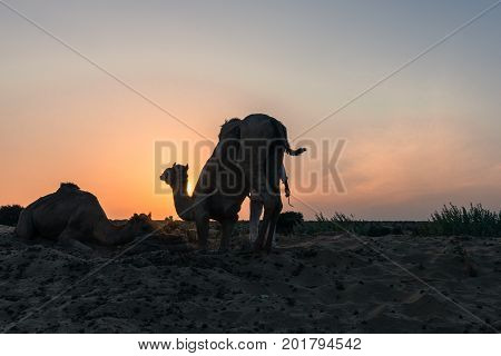 Wide angle picture of camel silhouette during sunset time in Thar Desert located close to Jaisalmer the Golden City in India.