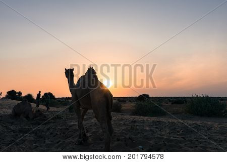 JAISALMER RAJASTHAN INDIA - MARCH 07 2016: Horizontal picture of camel silhouette during sunset time in Thar Desert located close to Jaisalmer the Golden City in India.