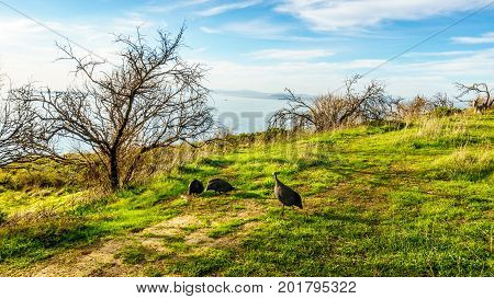 Guinea fowl feeding on a grassy field on Signal Hill at Cape Town, South Africa