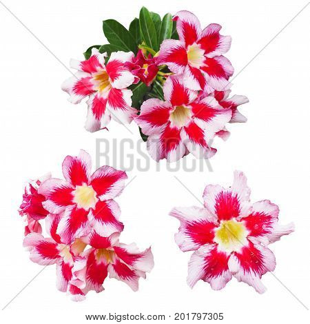 Red and pink Impala lily flowers isolated on white background