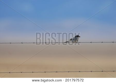 A shrike sits patiently on a barbed wire fence watching for it's next meal.