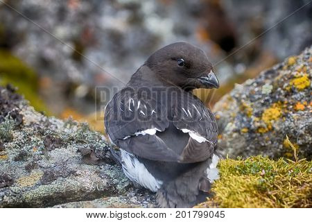 Little Auk (dovekey, Alle Alle)