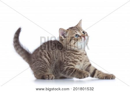 Young kitten side view. Cat tabby kitten isolated.