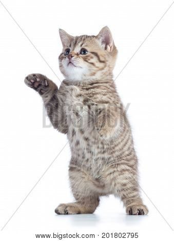funny playful cat is standing isolated on white background