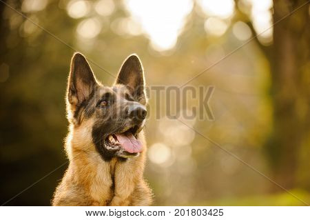 German Shepherd dog portrait in afternoon light