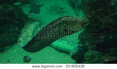 California moray eel Gymnothorax mordax glides along the rock crevices of Southern California.