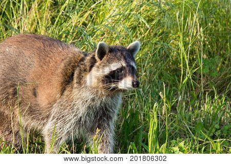 Closeup of the face of a tame Racoon on a meadow. poster