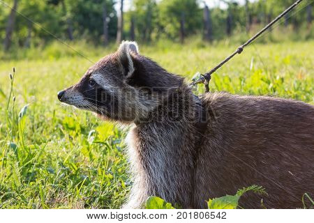 A Tame Racoon With Leading Reins.