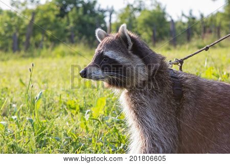 Closeup Of A Leashed Racoon.