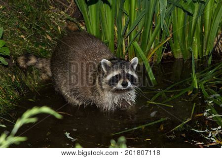 A Tame, Wet Racoon Is Lokking Into The Camera.
