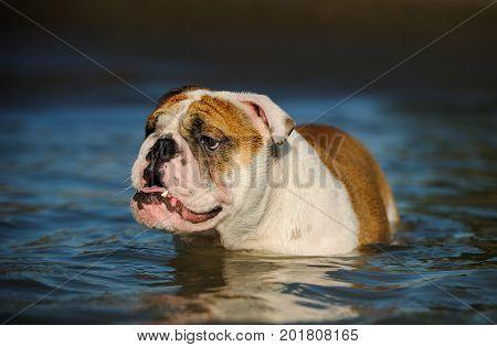 English Bulldog wading in blue ocean water