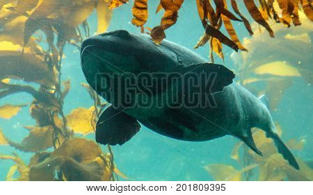 Giant Sea Bass Fish Stereolepis Gigas