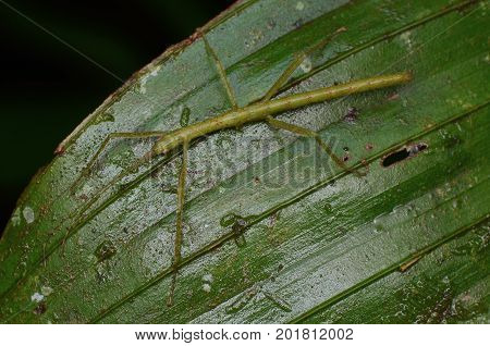 image of a beautiful stick insect's nymph