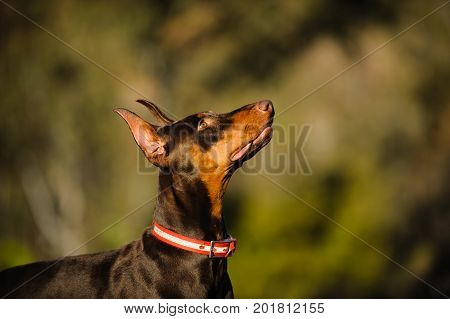 Doberman PInscher dog portrait against natural background