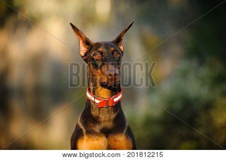 Red and tan Doberman PInscher dog portrait outdoors