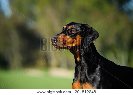 Doberman PInscher dog portrait with natural ears